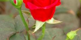 Virtù della Rosa
